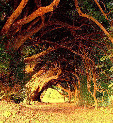 1000yearsoldtree
