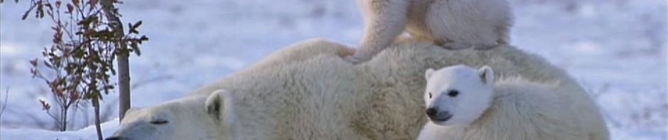 Polar Bear Cub Cling-On